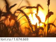 Купить «Колосья пшеницы», фото № 1674669, снято 9 августа 2009 г. (c) chaoss / Фотобанк Лори