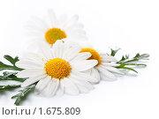 Купить «Белые ромашки», фото № 1675809, снято 23 апреля 2010 г. (c) Лисовская Наталья / Фотобанк Лори