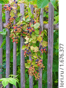 Купить «Ягоды садовой ежевики на заборе», эксклюзивное фото № 1676377, снято 22 августа 2009 г. (c) Алёшина Оксана / Фотобанк Лори