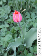 Тюльпан. Стоковое фото, фотограф Анастасия Захаренко / Фотобанк Лори