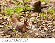 Купить «Белка в Битцевском парке», фото № 1677357, снято 2 мая 2010 г. (c) Алексей Зарубин / Фотобанк Лори