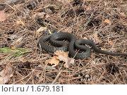 Уж. Змея. Стоковое фото, фотограф Александр Рюмин / Фотобанк Лори
