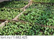 Купить «Ящики с рассадой», фото № 1682425, снято 2 мая 2010 г. (c) Сычёва Татьяна / Фотобанк Лори