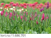Купить «Цветение тюльпанов», эксклюзивное фото № 1686701, снято 8 мая 2010 г. (c) Svet / Фотобанк Лори