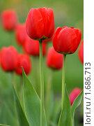 Купить «Алые тюльпаны», эксклюзивное фото № 1686713, снято 8 мая 2010 г. (c) Svet / Фотобанк Лори