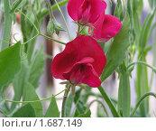Цветок душистый горошек красный. Стоковое фото, фотограф Oksana Boborykina / Фотобанк Лори