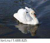 Купить «Лебедь-шипун . Cygnus olor», фото № 1688825, снято 9 мая 2010 г. (c) Александр Шилин / Фотобанк Лори