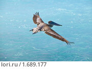 Купить «Пеликан», фото № 1689177, снято 6 февраля 2010 г. (c) Куликов Константин / Фотобанк Лори
