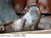 Купить «Выдра», фото № 1690785, снято 10 мая 2010 г. (c) Михаил Борсов / Фотобанк Лори