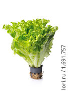 Купить «Пучок салата на белом фоне», фото № 1691757, снято 23 апреля 2010 г. (c) Денис Ларкин / Фотобанк Лори
