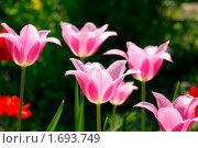 Купить «Тюльпаны лилиецветные в саду», фото № 1693749, снято 8 мая 2010 г. (c) Natalya Sidorova / Фотобанк Лори