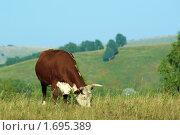 Купить «Корова пасется на лугу», фото № 1695389, снято 14 августа 2008 г. (c) Дмитрий Ощепков / Фотобанк Лори