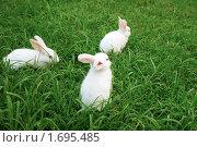 Купить «Белые кролики на зеленой траве», фото № 1695485, снято 29 августа 2009 г. (c) Дмитрий Ощепков / Фотобанк Лори