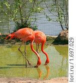 Купить «Пара красных фламинго», фото № 1697029, снято 8 мая 2010 г. (c) Щеголева Ольга / Фотобанк Лори