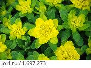 Узор из цветов. Стоковое фото, фотограф Дарья Силич / Фотобанк Лори
