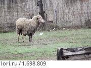 Баран. Стоковое фото, фотограф Максим Боровков / Фотобанк Лори