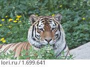 Купить «Портрет молодой амурской тигрицы», фото № 1699641, снято 13 мая 2010 г. (c) Вячеслав Беляев / Фотобанк Лори