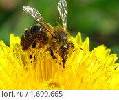Купить «Пчёлка», фото № 1699665, снято 13 мая 2010 г. (c) Константин Кург / Фотобанк Лори