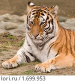 Портрет тигра. Стоковое фото, фотограф Голованова Светлана / Фотобанк Лори