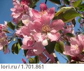 Купить «Розовые цветки яблони», фото № 1701861, снято 14 мая 2010 г. (c) Людмила Банникова / Фотобанк Лори