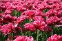 Розовые махровые тюльпаны, фото № 1702245, снято 8 мая 2010 г. (c) Наталья Волкова / Фотобанк Лори