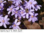 Купить «Пчела за работой», фото № 1707321, снято 7 апреля 2010 г. (c) Наталья Волкова / Фотобанк Лори