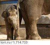 Купить «Слоненок в московском зоопарке», фото № 1714733, снято 18 мая 2010 г. (c) Владимир Журавлев / Фотобанк Лори