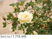 Роза. Стоковое фото, фотограф Вера Лаврентьева / Фотобанк Лори