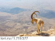 Купить «Горный козел на обрыве кратера Махтеш Рамон, Израиль», фото № 1719577, снято 10 мая 2009 г. (c) Владимир Блинов / Фотобанк Лори