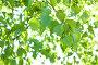 Листья березы, фото № 1724325, снято 23 мая 2010 г. (c) Катерина Макарова / Фотобанк Лори