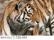 Купить «Амурский тигр», эксклюзивное фото № 1726041, снято 3 апреля 2010 г. (c) Щеголева Ольга / Фотобанк Лори