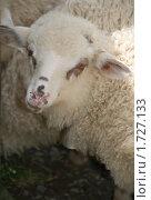 Портрет овцы. Стоковое фото, фотограф Швадчак Василий / Фотобанк Лори