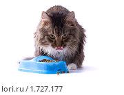 Купить «Голодный кот ест кошачий корм из синей миски», фото № 1727177, снято 20 мая 2010 г. (c) Ирина Карлова / Фотобанк Лори