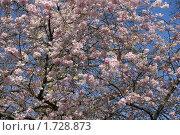 Розовое весеннее дерево. Стоковое фото, фотограф Лимонад / Фотобанк Лори