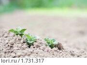 Купить «Куст картошки на фоне земли», фото № 1731317, снято 15 мая 2010 г. (c) Донцов Евгений Викторович / Фотобанк Лори