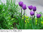 Купить «Сиреневые тюльпаны на клумбе», эксклюзивное фото № 1736317, снято 14 мая 2010 г. (c) Юрий Морозов / Фотобанк Лори