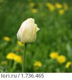 Тюльпан в мае. Стоковое фото, фотограф Анна Кузина / Фотобанк Лори
