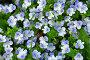 Ковер из луговых маленьких цветочков, фото № 1736741, снято 15 мая 2010 г. (c) Fro / Фотобанк Лори