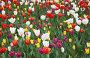 Разноцветные тюльпаны, фото № 1737053, снято 14 мая 2010 г. (c) Наталья Волкова / Фотобанк Лори
