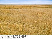 Купить «Поле с созревшим овсом», фото № 1738497, снято 22 августа 2009 г. (c) Алёшина Оксана / Фотобанк Лори