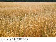 Купить «Поле с созревшим овсом», фото № 1738557, снято 22 августа 2009 г. (c) Алёшина Оксана / Фотобанк Лори