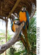 Два попугая сидящие на дереве. Стоковое фото, фотограф Ирина Королева / Фотобанк Лори
