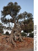 Старое оливковое дерево. Стоковое фото, фотограф Александр  Новоселов / Фотобанк Лори