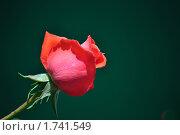 Роза. Стоковое фото, фотограф Решетило Александр / Фотобанк Лори