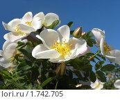 Белые цветы шиповника на фоне голубого неба. Стоковое фото, фотограф Багира / Фотобанк Лори