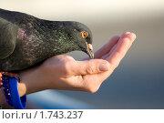Голубь на руке. Стоковое фото, фотограф Sergii Korshun / Фотобанк Лори