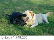 Два лабрадора играют на поляне. Стоковое фото, фотограф Сергей Дыбтан / Фотобанк Лори