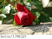 Роза. Стоковое фото, фотограф Роман Чабан / Фотобанк Лори