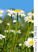 Ромашки в саду. Стоковое фото, фотограф Струкова Светлана / Фотобанк Лори