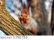 Белка. Стоковое фото, фотограф Виталий Костиков / Фотобанк Лори